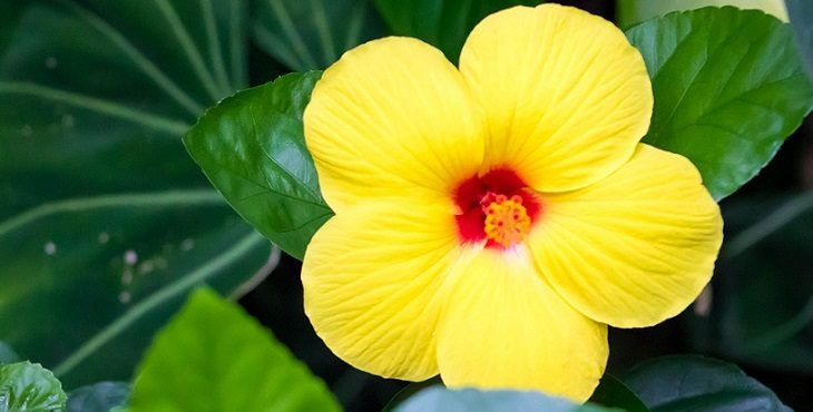 Image of a yellow hibiscus. Virtues of Vegetarianism 1