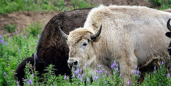 Image of the Great White Buffalo.