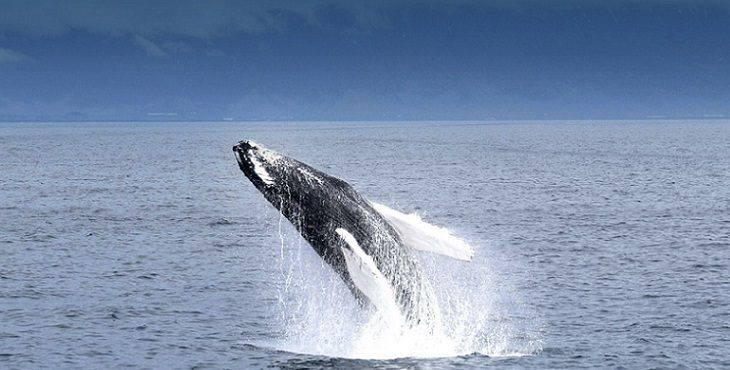 Image of a Whale jumping backwards. Living Truth - Becoming The Creator