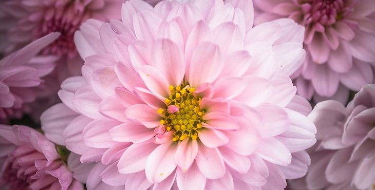 Image of a lovely pink chrysanthemum. Transcending The Personality, Ego And Negative Ego