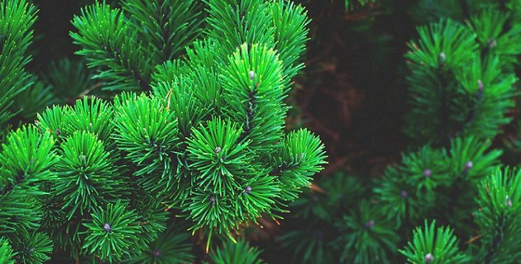 Image of the evergreen pine tree and pine needles. Blessings Of Introspection