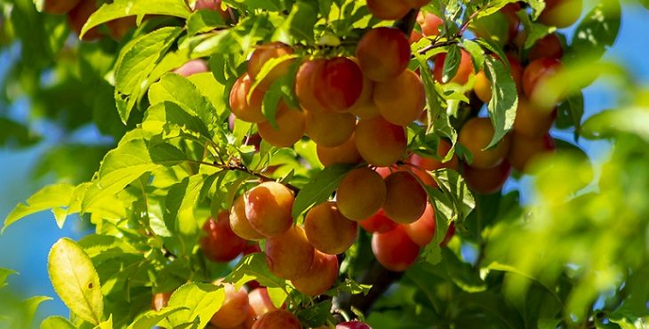 Image of ripe and succulent fruits on a plum tree. Blessings For Communing With The Land