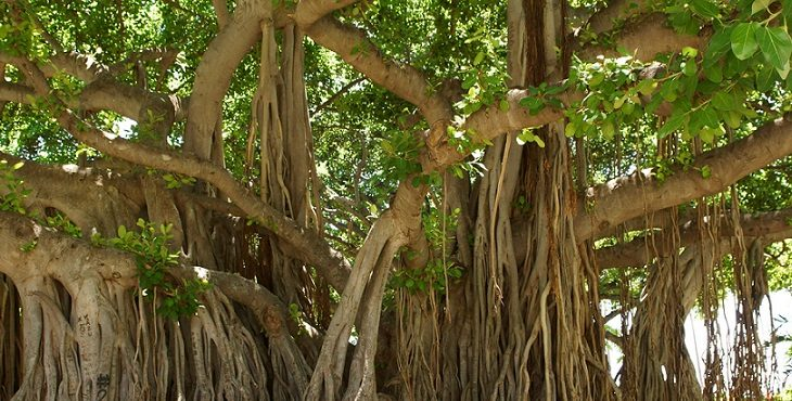 Image of a gigantic banyan tree in Hawaii. Blessings For Symbiotic Relations