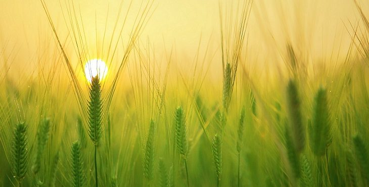 Image of a lovely sunrise at a barley field. The Truth Bearers Unite