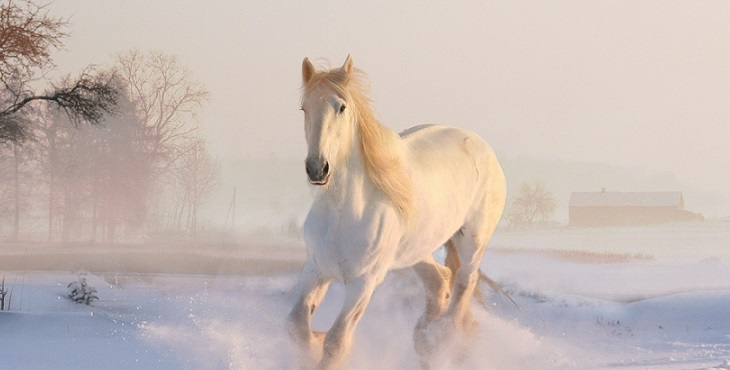 Image of a beautiful white horse running on the snow. Horse Power