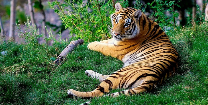 Image of a majestic tiger lying down and looking up at us. Chasing The Tiger's Tail