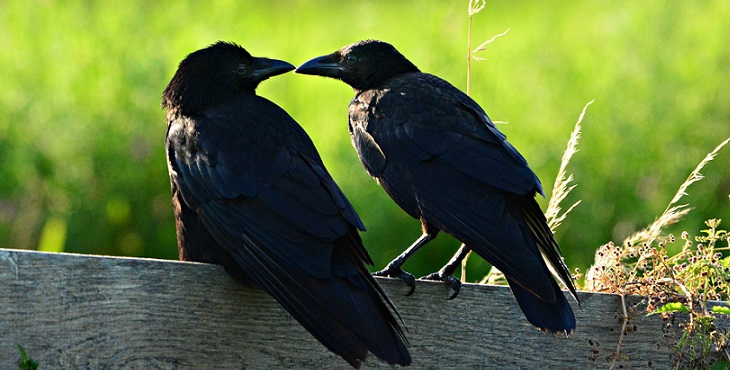 Image of two black crows. Two Crows Dancing In The Wind