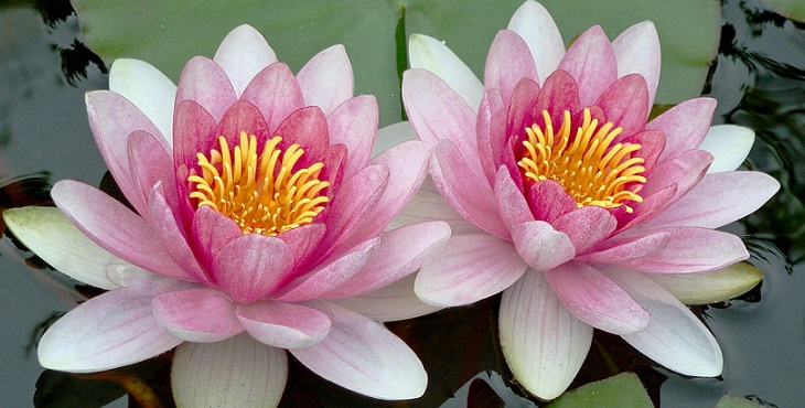 Image of the beautiful and exquisite pink twin lotuses. Introduction To Divine Counterpart And Twin Relationship