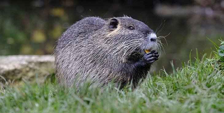 Image of an adorable beaver putting something in its mouth. The Flap Of The Beaver's Tail