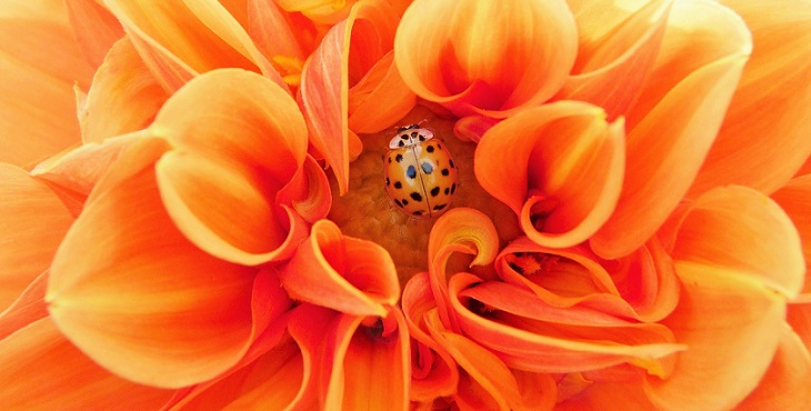 Image of a closeup of a bright orange dahlia. Partnership Archive #1