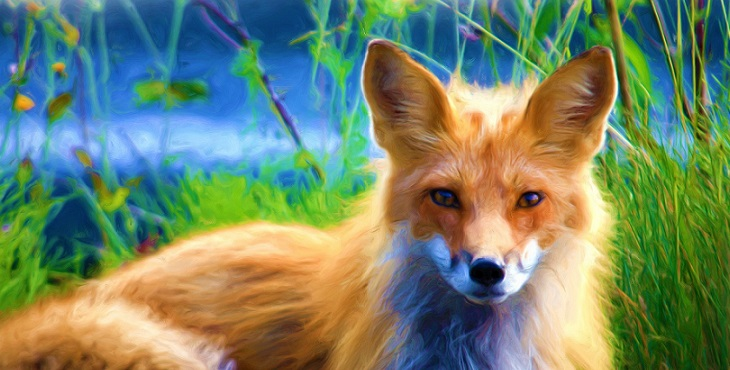 Image of a keen looking orange fox. The Sly Fox
