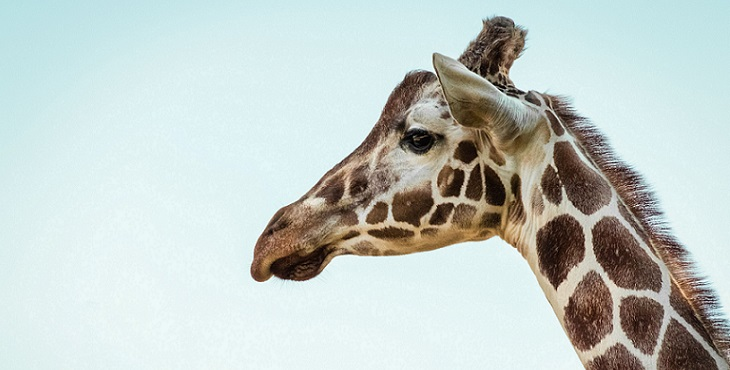 Image of a sweet and gentle giraffe. The Spotted Giraffe