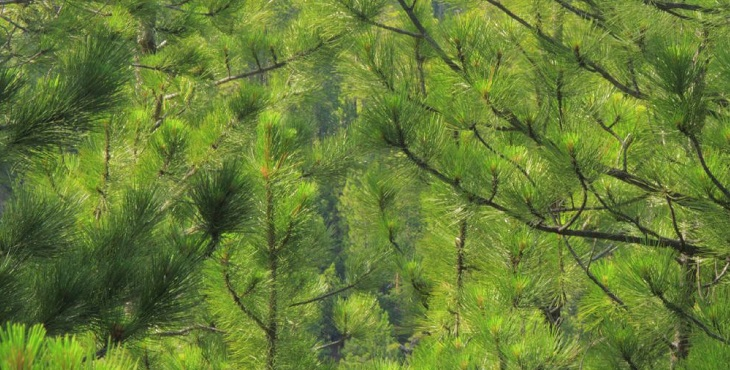 Image of a shiny green ponderosa pine tree. Blessings For A Return Of Consciousness And Soul