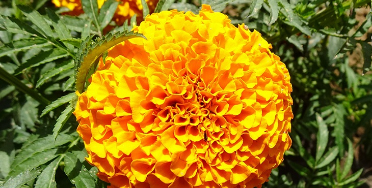 Image of a gorgeous bright orange marigold flower. Introduction to Shakti Relationship Lore