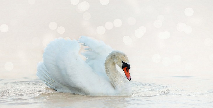 Image of a graceful swan with light peach orbs in the background. The Call Of The Swan
