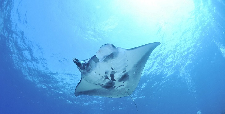 Image of a graceful manta ray swimming in the ocean. The Flight Of The Manta Ray